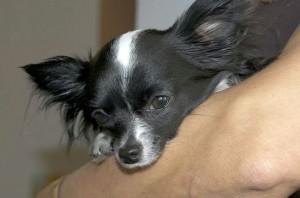 Chihuahua à poils longs.
