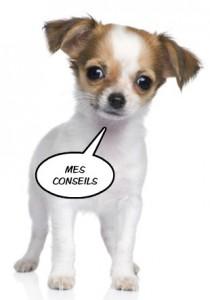 Conseils chihuahua