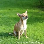 chihuahua au soleil