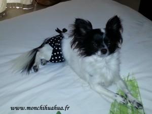 Culotte chihuahua