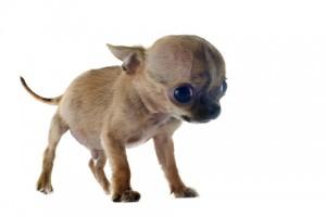 Chihuahua nain