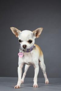 Chihuahua LOF à poils courts