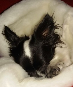 Chihuahua bien au chaud durant l'hiver
