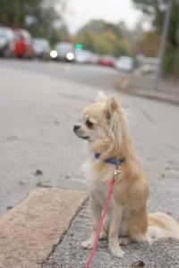 Chihuahua qui attend dans la rue