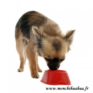 Chihuahua avec sa gamelle