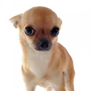 Chihuahua qui a peur