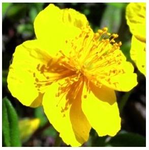 Hélianthème - fleurs de Bach
