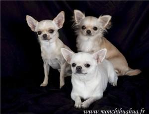 Adopter Un Chihuahua Retraite D Elevage Mon Chihuahua