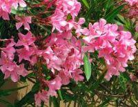 le laurier rose est une plante toxique pour le chien