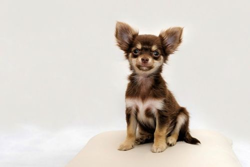 chiot chihuahua poil long